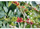 Indonesia Java - Wet Process - Green Coffee Beans