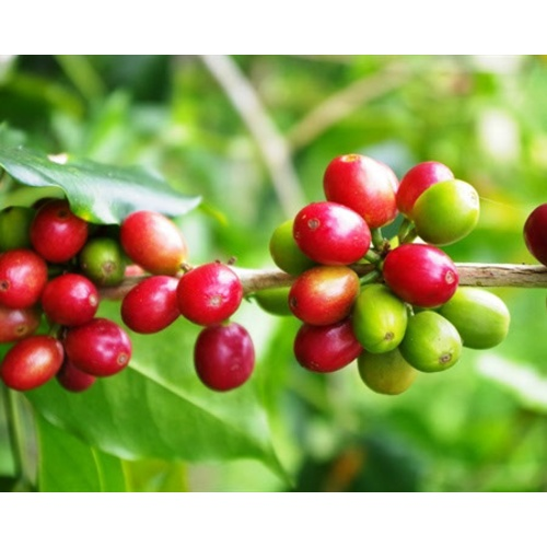 Mexico Royal Select Decaf - Decaf Process - Green Coffee Beans
